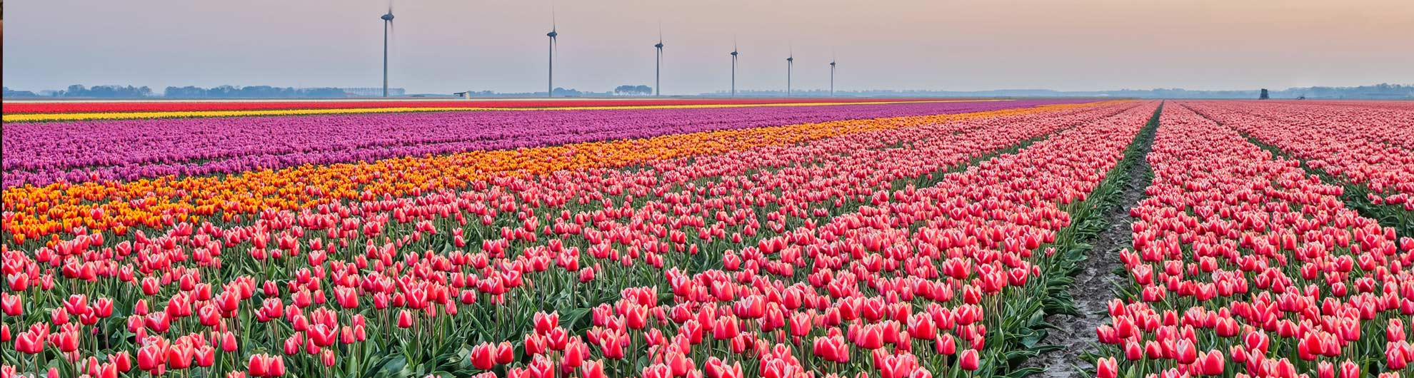Tulpenveld Dronten